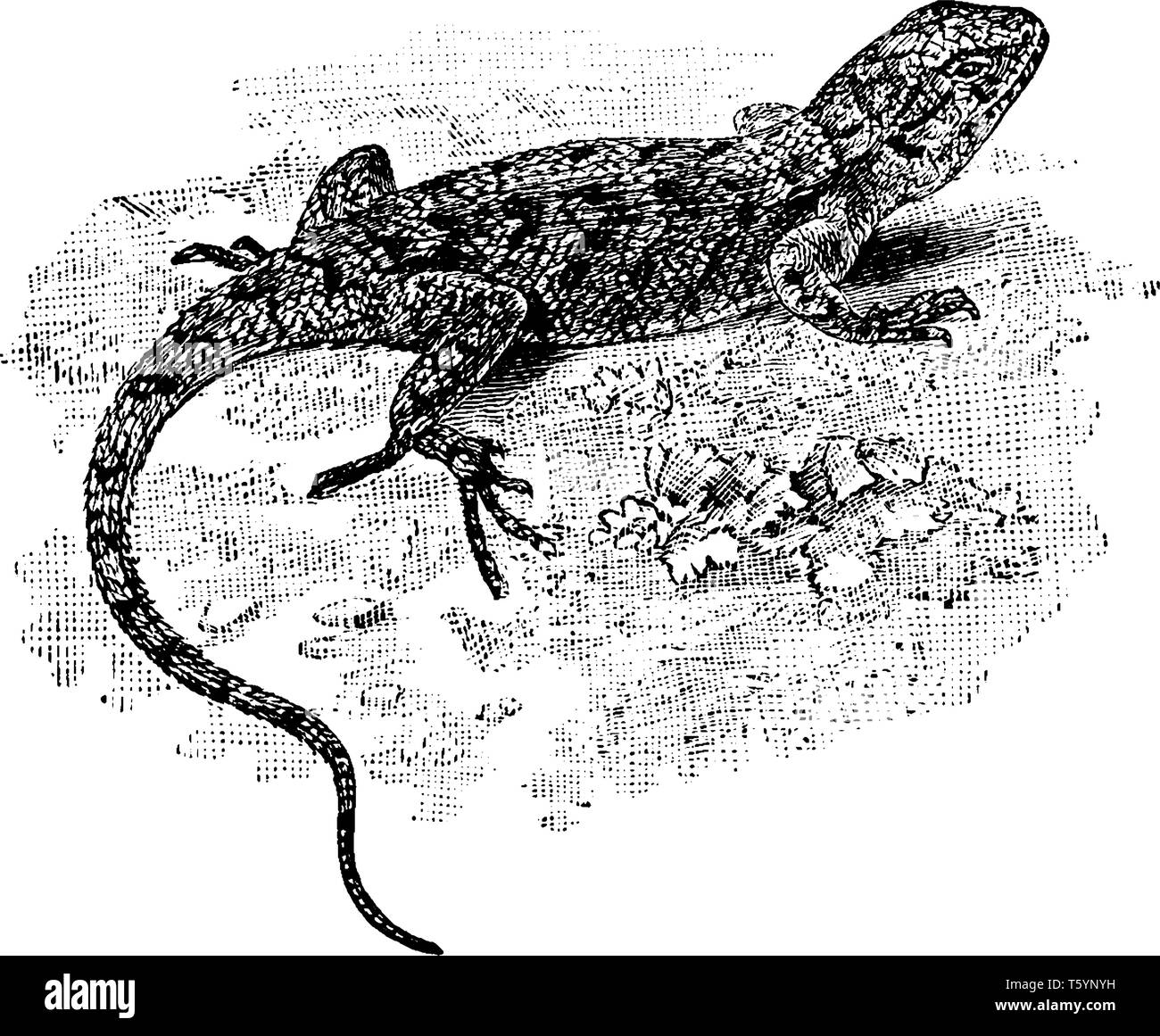 Eastern Fence Lizard is a medium sized species of lizard common along the east coast of North America, vintage line drawing or engraving illustration. - Stock Vector