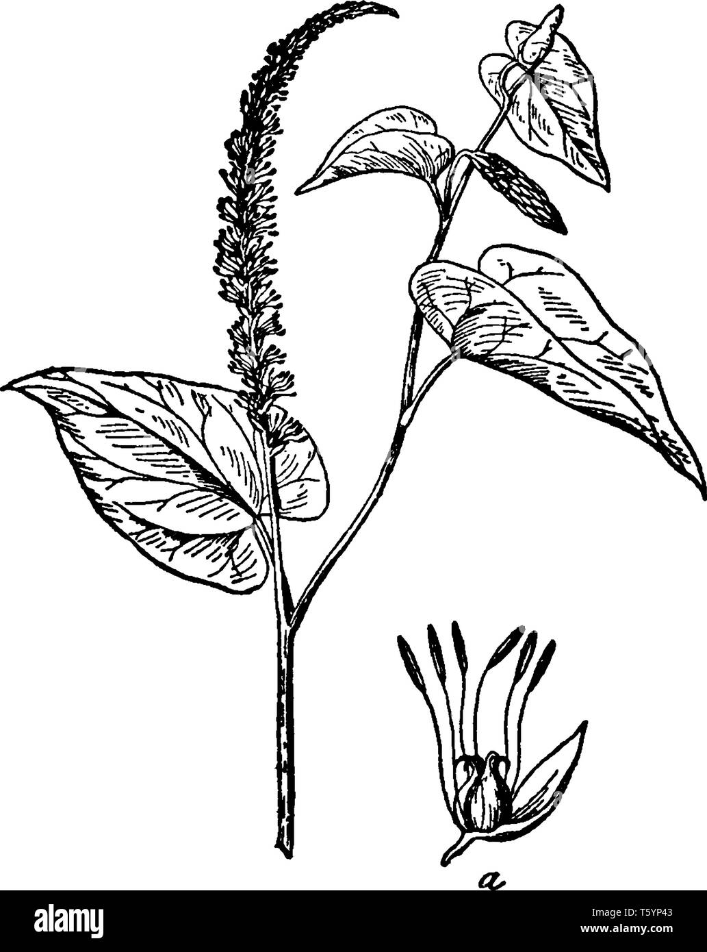 This is flowering branch of Lizard's Tail. Flowers are borne on a long hairy stem and its leaves are heart shaped, vintage line drawing or engraving i - Stock Image
