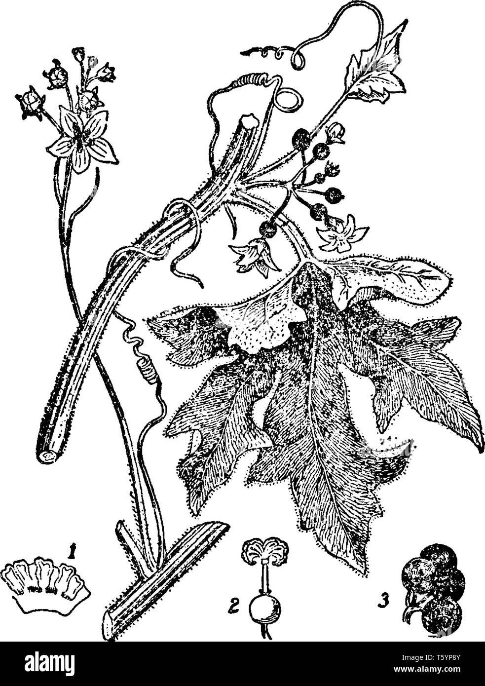 The bryony is a climbing vine, bryony is thorny and hairy. There are some lobed leaves, flowers, bud and seed, vintage line drawing or engraving illus - Stock Image