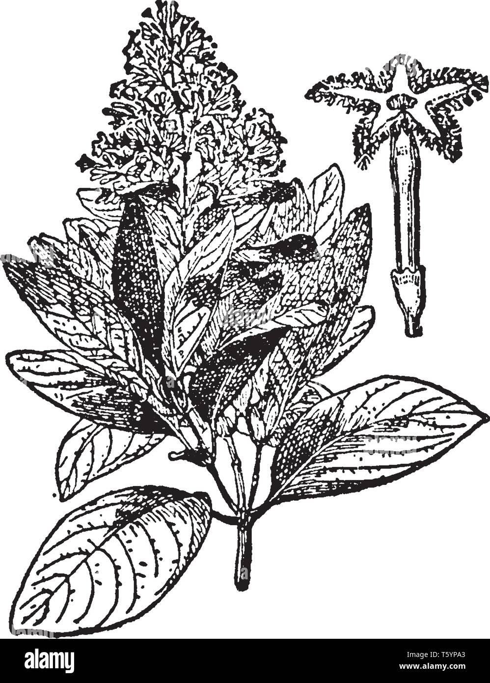 This plant grows in wet and mossy forest, in the mountains of the Andes, at an altitude of 1050 m - 1500 m above sea level, especially in southern Per - Stock Vector