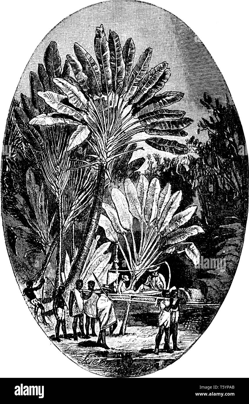 It is an illustration of a Traveller's Palm or Traveller's Tree which is a species of plant from Madagascar. It is not really a palm, but a member of  - Stock Vector
