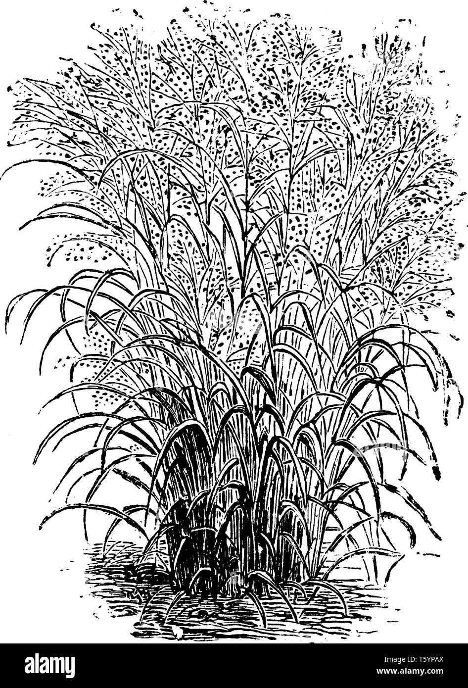 The grass shown in this frame is known as Panicum virgatum. Panicum virgatum is a variety of panick-grasses, vintage line drawing or engraving illustr Stock Vector