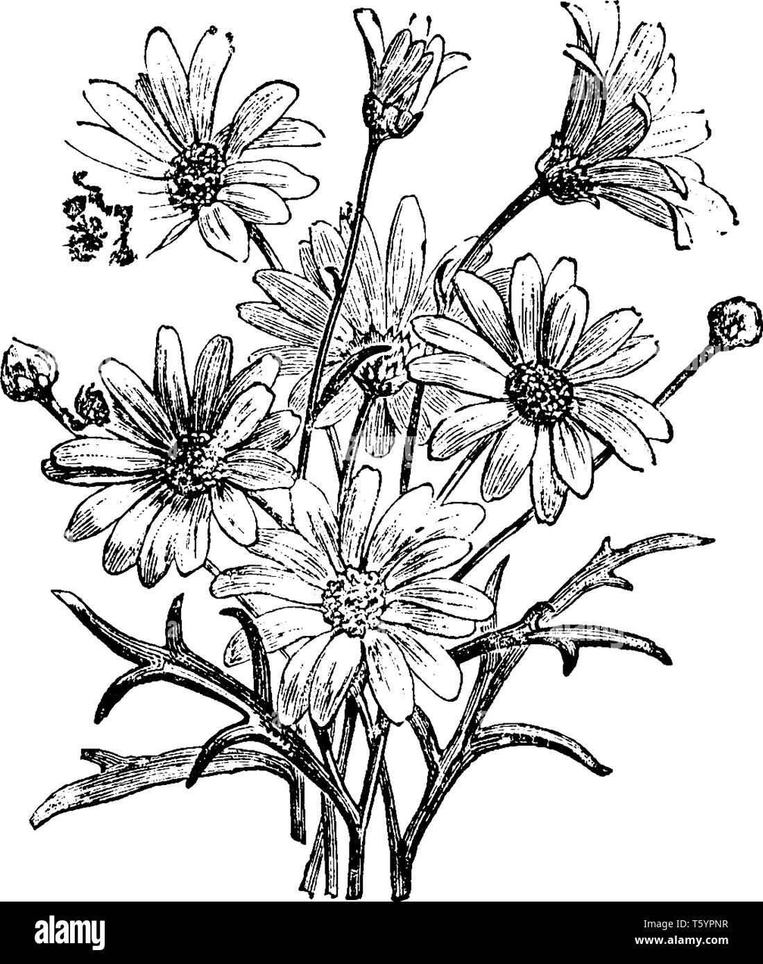 Pyrethrum is a perennial herb. It has grey hairy leaves that are fine and deeply divided. Flowers are daisy like with a yellow center and white ray pe - Stock Image