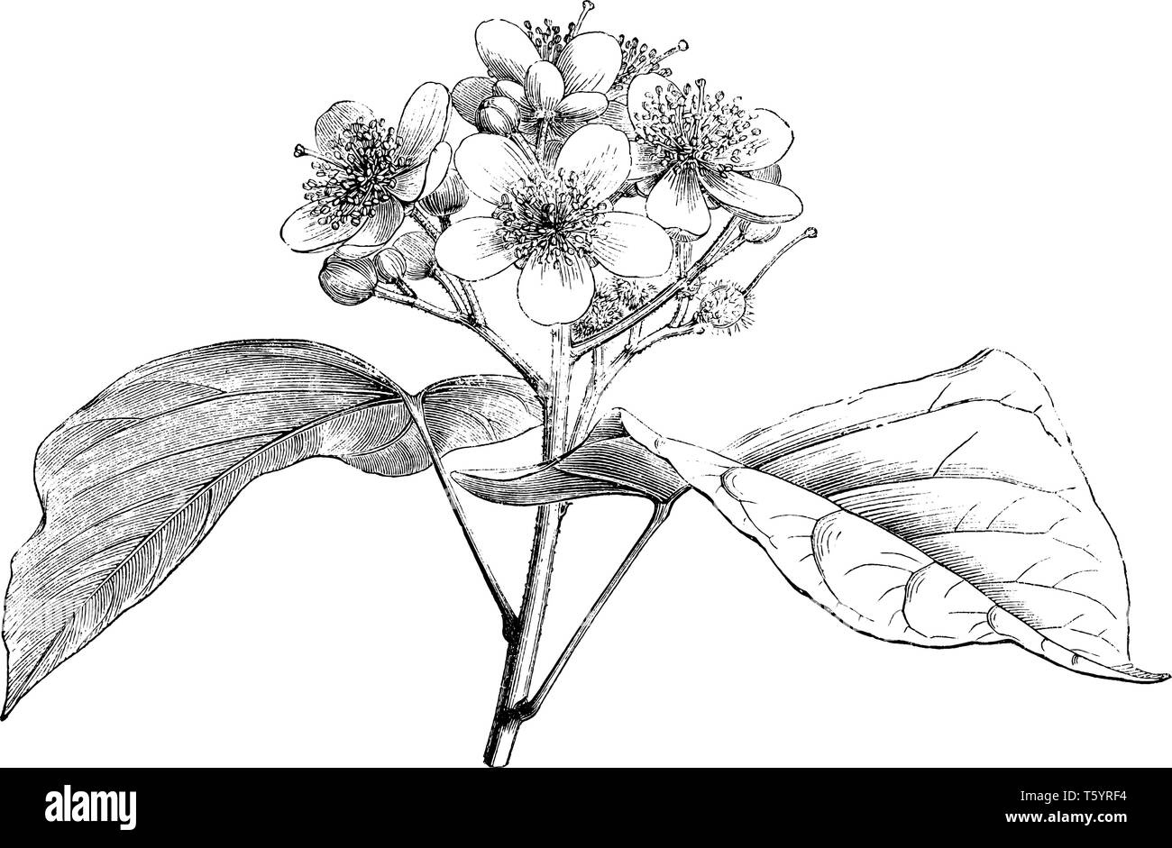 The Bixa Orellana flowers are in clusters with five petals. Leaves are alternate growing and stem is hairy, vintage line drawing or engraving illustra - Stock Image
