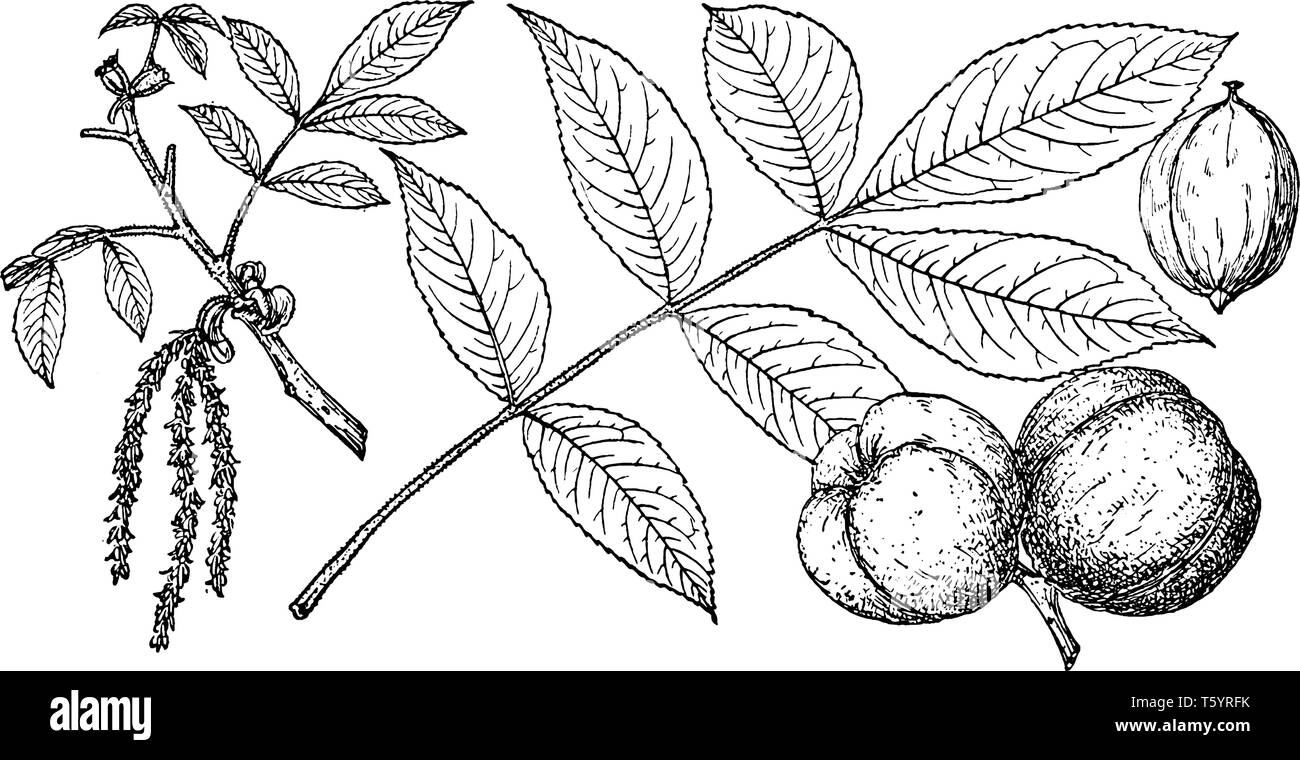 A picture of Mockernut Hickory tree. It is marked with branching ridges. This tree grows on rich, moist, well-drained soils of upland areas. Fruits Se Stock Vector