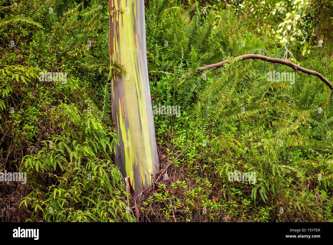 Rainbow Eucalyptus Tree, Maui, USA - Stock Image