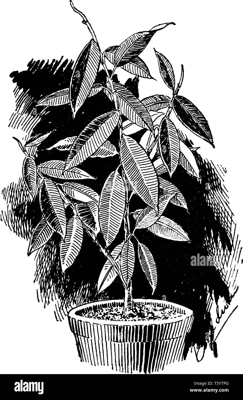 A picture is showing Ficus Elastica, known as Rubber Fig. It is native to east India, Nepal, Bhutan, Burma and China. It belongs to Moraceae family an - Stock Vector