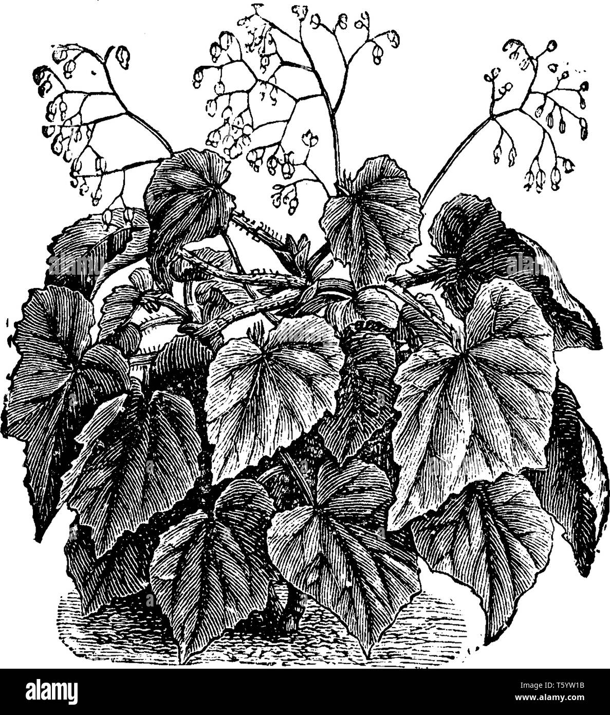 The leaves rose in cluster, the leaves stalk is hairy. Flowers are tiny growing on top, vintage line drawing or engraving illustration. - Stock Image