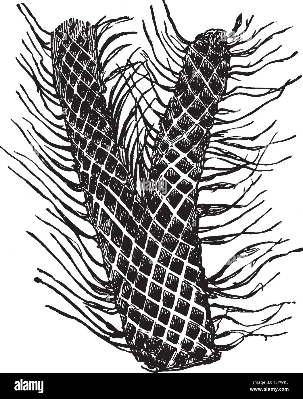 This is the portion of Lepidodendron plant. Stem looks like a mechanism in a dense spiral. The stem outer surface of the bark is marked by lozenge-sha Stock Vector