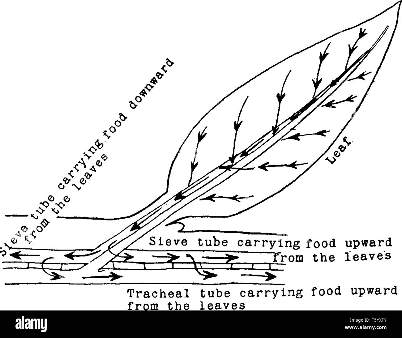 a diagram showing the descent of food from the leaf to the stem, and it's  up and down circulation through the sieve tubes, and up through the tracheal