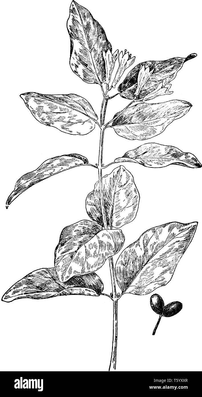 The image shows a fly Honeysuckle shrubs also called Caprifoliaceae. The honeysuckle families are a clade of dicotyledonous flowering plants. The leav - Stock Image