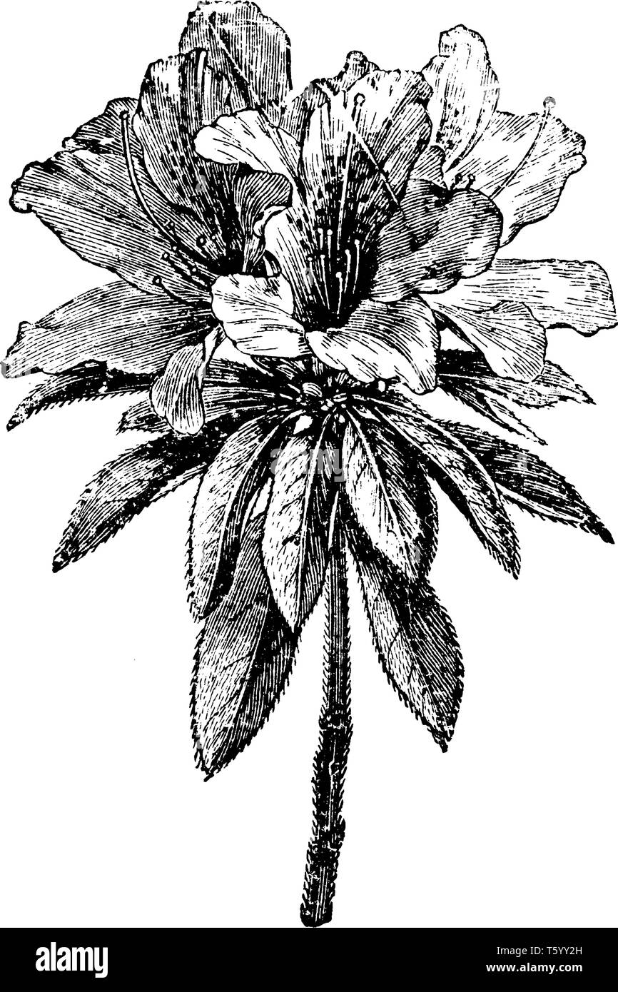 There is an amazing flower shrub. The leaves are below the flower and hairy stalk. It is double variety of flower, vintage line drawing or engraving i - Stock Image