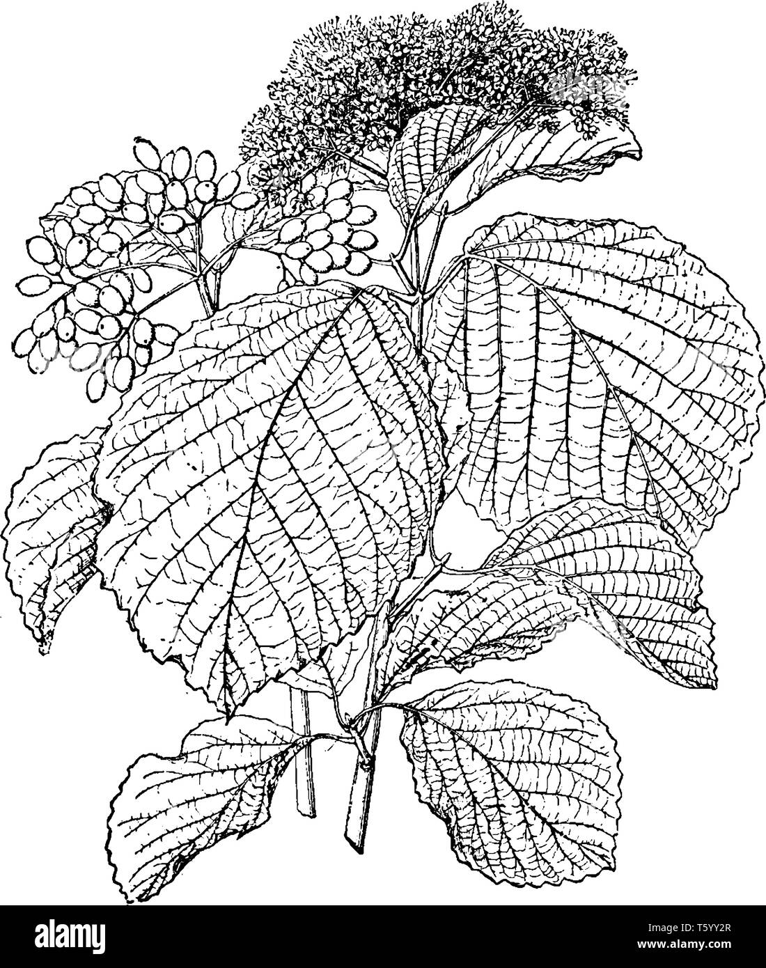 A picture is showing Viburnum Dilatatum. It is commonly known as linden arrow wood. It is native to Eastern Asia. The leaves have toothed margins. Flo - Stock Vector