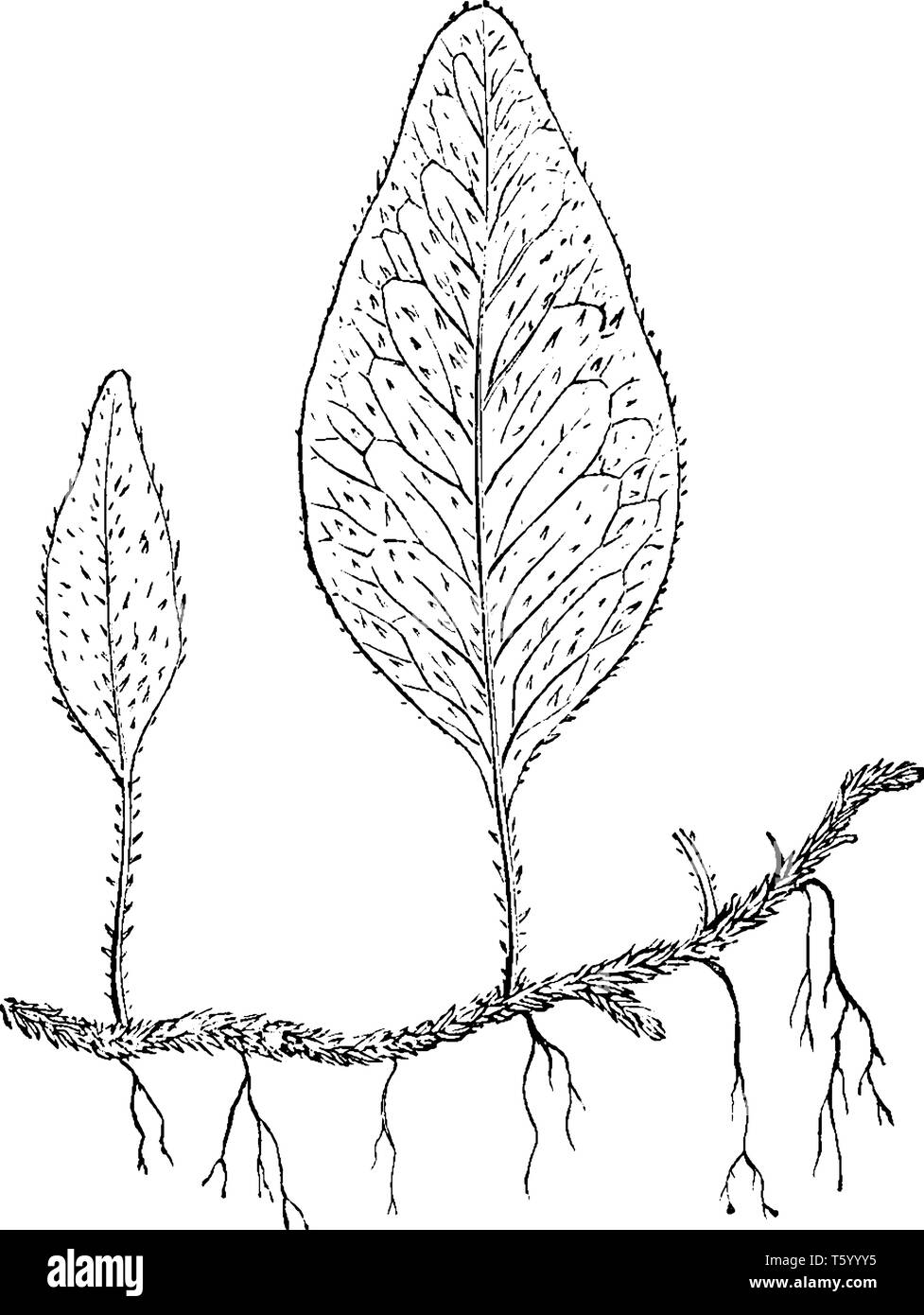 This is a picture of Polypodium Piloselloides wide-creeping fern, whereas the barren ones are oblong, vintage line drawing or engraving illustration. - Stock Image