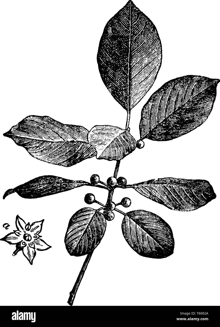 Alder Buckthorn is a fast-growing bushy deciduous shrub. The leaves are narrow, deep green and slightly hairy, vintage line drawing or engraving illus - Stock Image