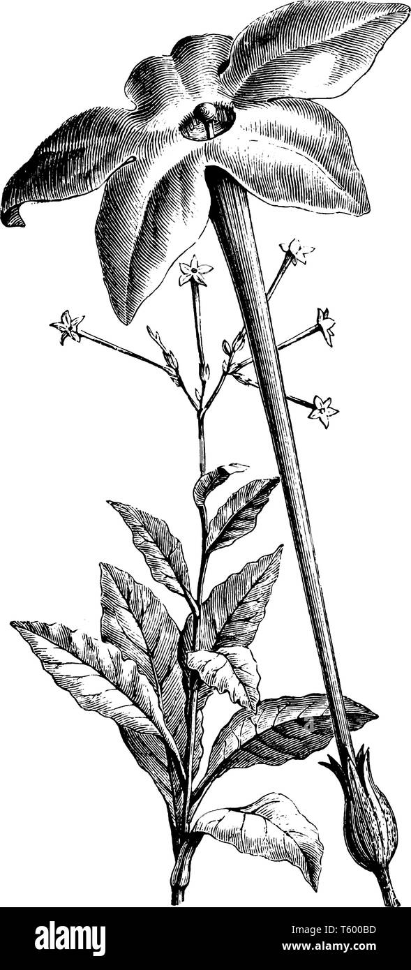 Picture of a tobacco Plant, whose leaves are tall and wide, Plant arise a much taller flowering shoot, vintage line drawing or engraving illustration. - Stock Image