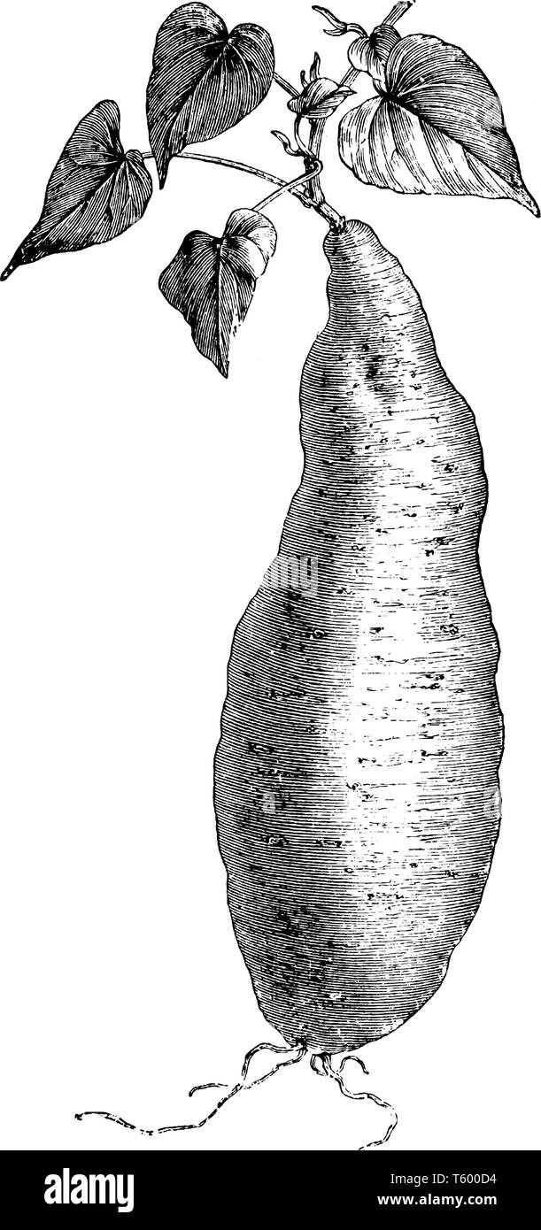Batatas Edulis is a dicotyledonous plant. Its large, starchy, sweet-tasting, tuberous roots are a root vegetable, vintage line drawing or engraving il - Stock Image