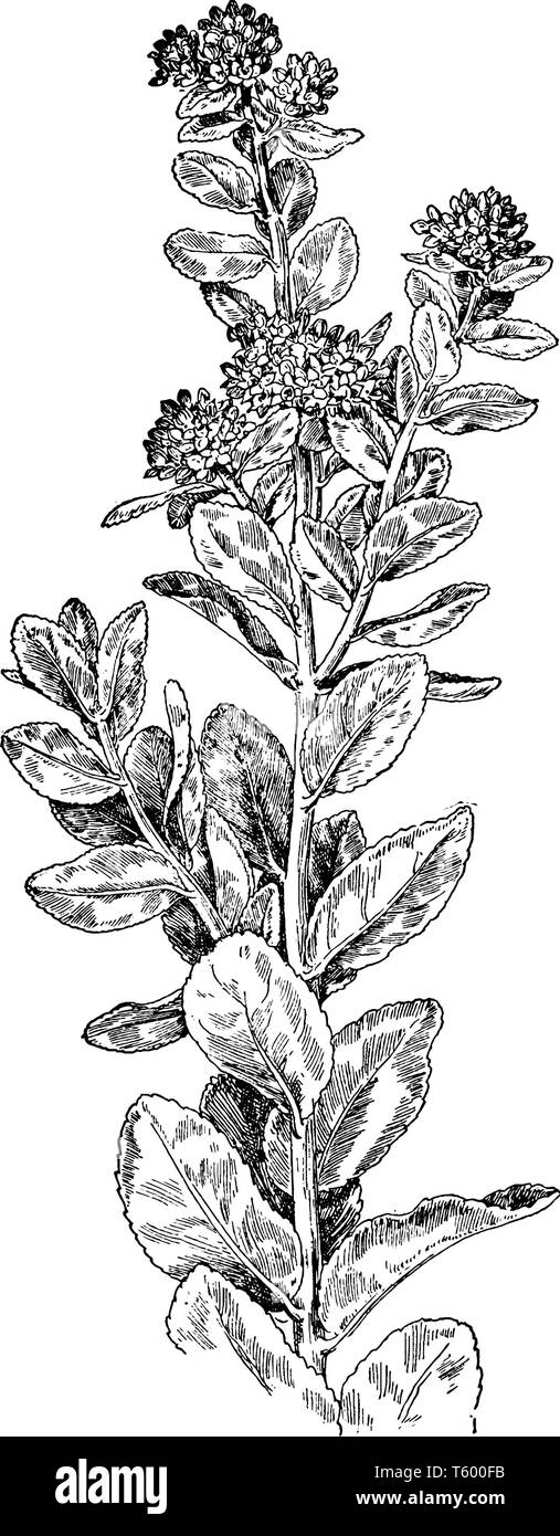 Garden Orpine is native to northern and eastern Asia, and commonly planted in gardens, from which it sporadically escapes, vintage line drawing or eng - Stock Vector