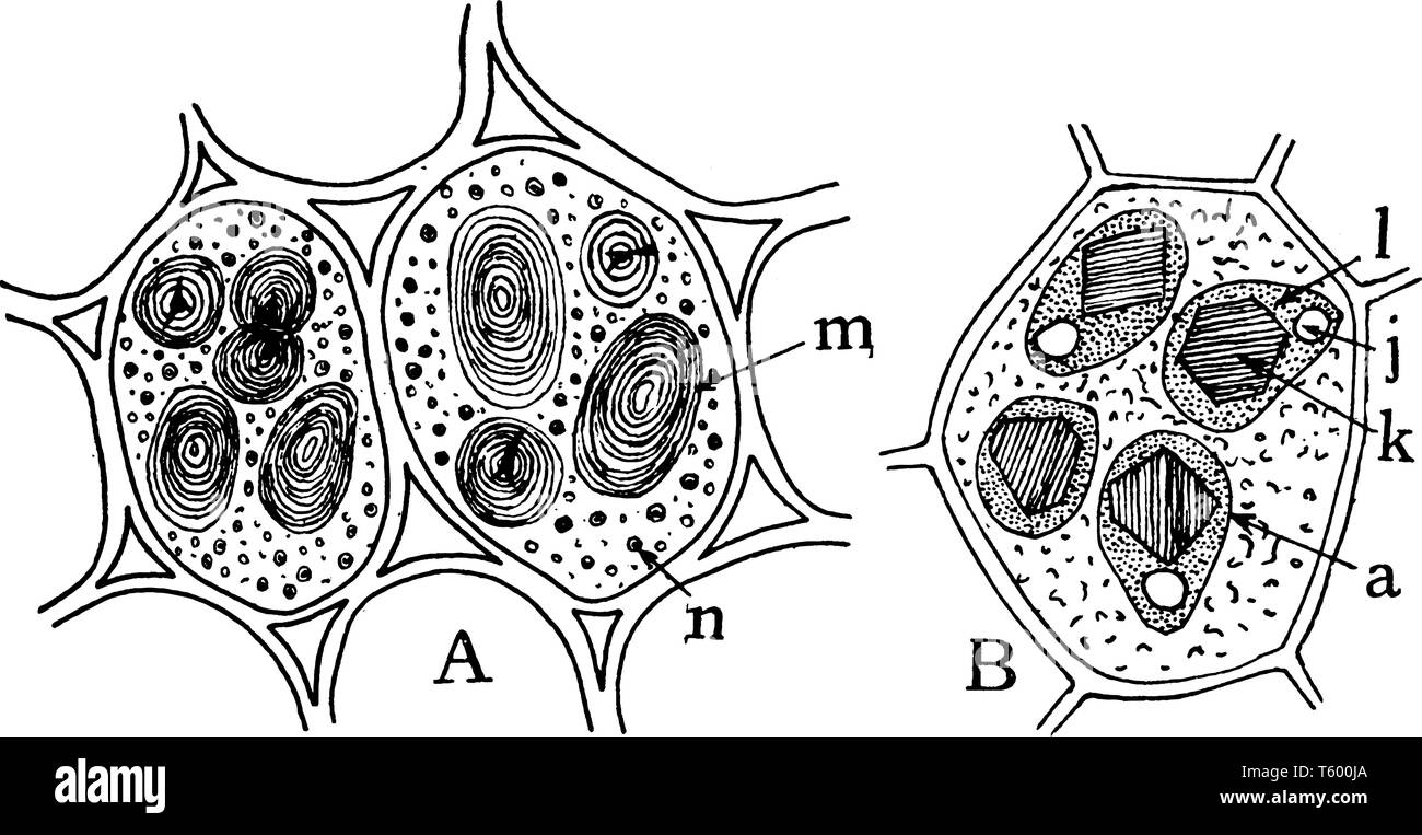These are parts of seed of garden bean where n, aleurone grains; m, starch; B, cells from endosperm of castor bean; a, aleurone grains; l, ground subs Stock Vector