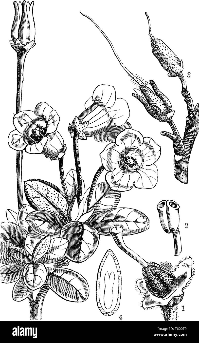 This pictures showing a rhododendron. This is a part of flower. The stems are thick. This is showing anther growth. The leaves are thick and oval shap - Stock Vector