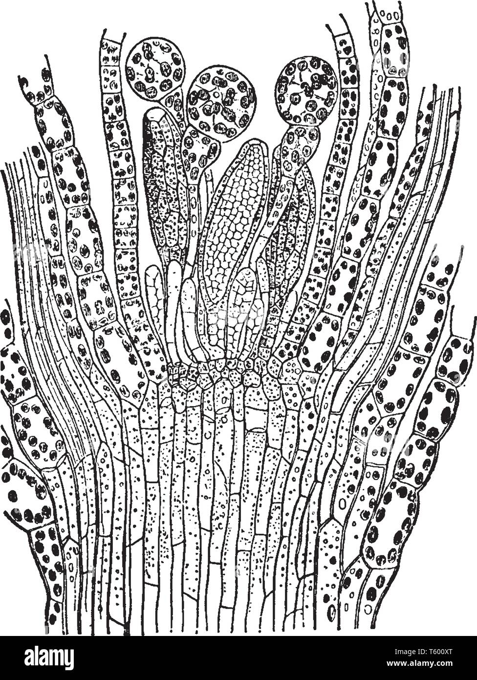 This is an image of Longitudinal section through the summit of a male branch of Funaria hygrometrica which grows on moist shady, damp soil and also oc - Stock Vector