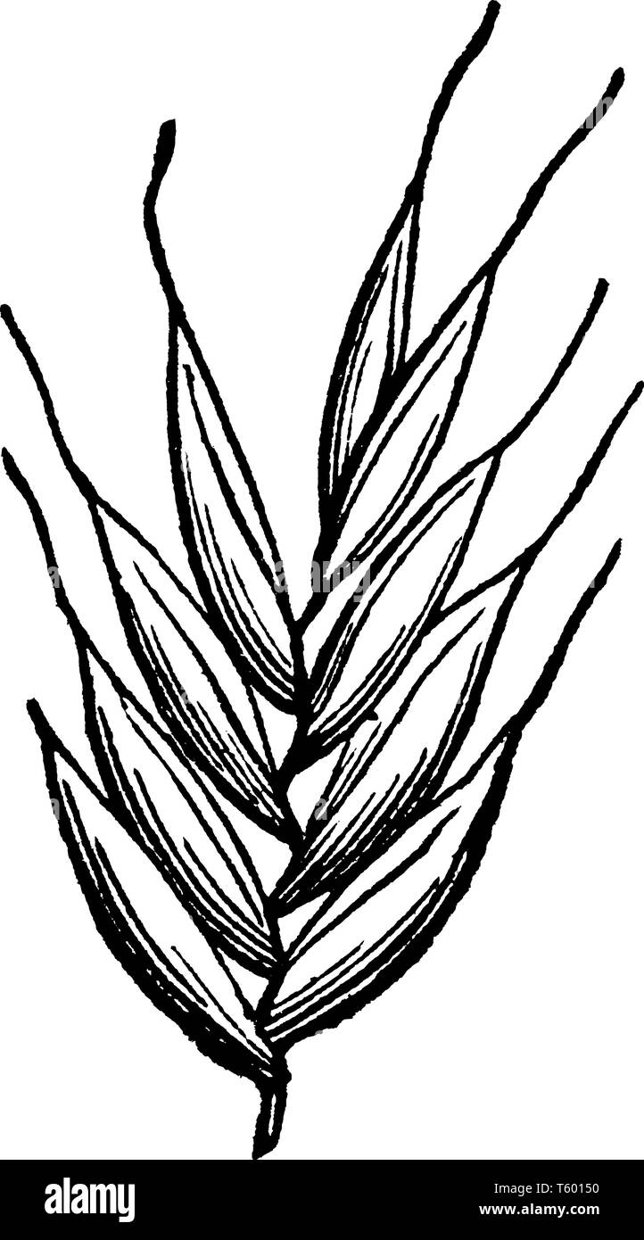 This picture showing part of Italian ray grass, this is leaves, leaves are very short and thin upper side of leaves is hairy, leaves attach to branch, - Stock Image