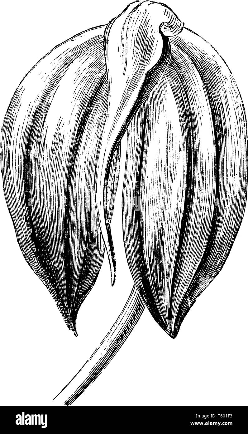 An illustration of masdevallia ignea's flower is a species of orchid endemic to Colombia. The flower is bright fiery red and deeply shaded with crimso - Stock Image
