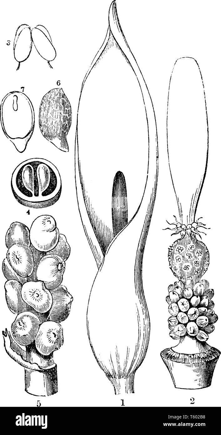 This is image is of part of Wild Arum which is showing- Spathe of Arum maculatum; an anther; a cluster of ripe fruits; a seed, vintage line drawing or - Stock Vector