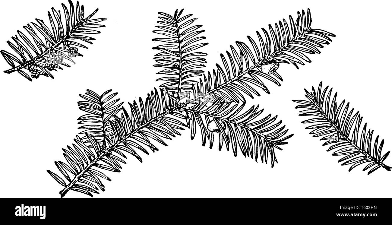 A picture of a branch of pacific yew which is  Also known as Taxus Brevifolia, vintage line drawing or engraving illustration. - Stock Image
