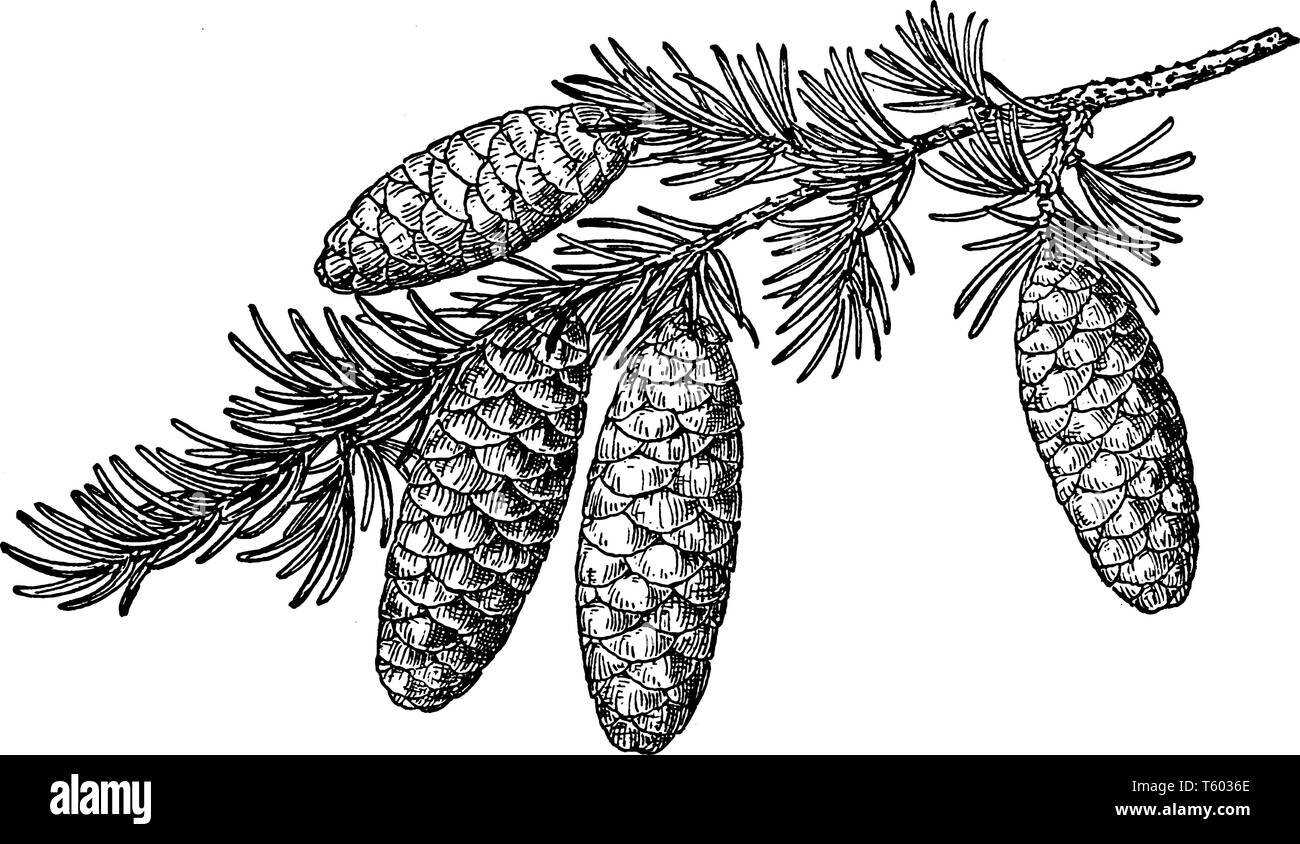 Also known as Tsuga Mertensiana. A species of hemlock native to the west coast of North America, between Alaska and California, vintage line drawing o - Stock Vector