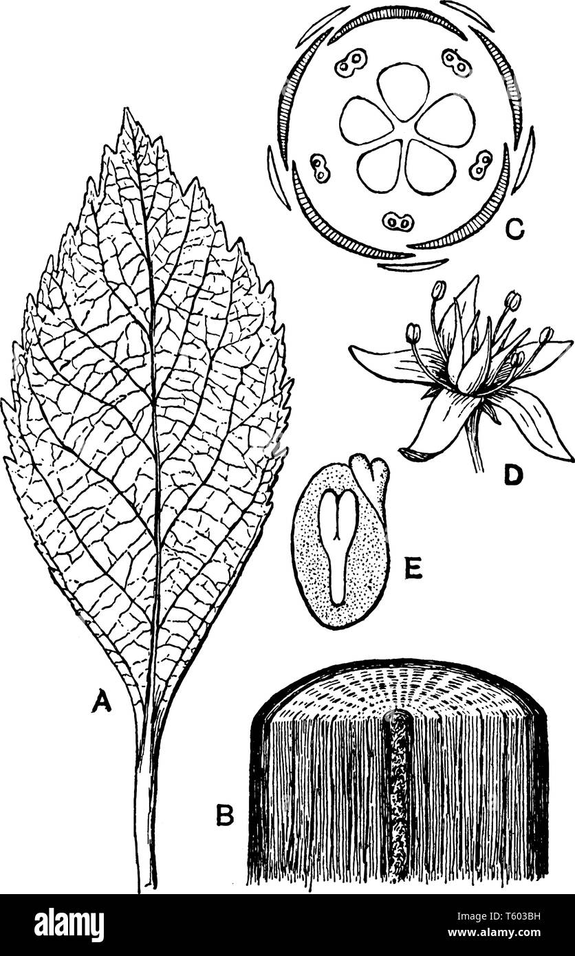 A picture is showing Dicotyledonous Morphology. Pictured shows: A, leaf, pinnately-netted veined; B, portion of stem; C, ground-plan of flower; D, per - Stock Image
