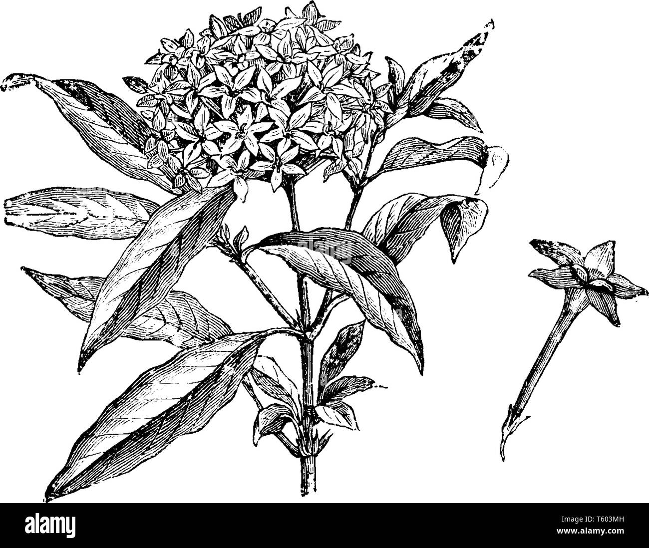 The plants have hairy green leaves and clusters of flowers in shades of red, white, pink, and purple. A bunch of flowers are blossoms at the top, vint - Stock Image