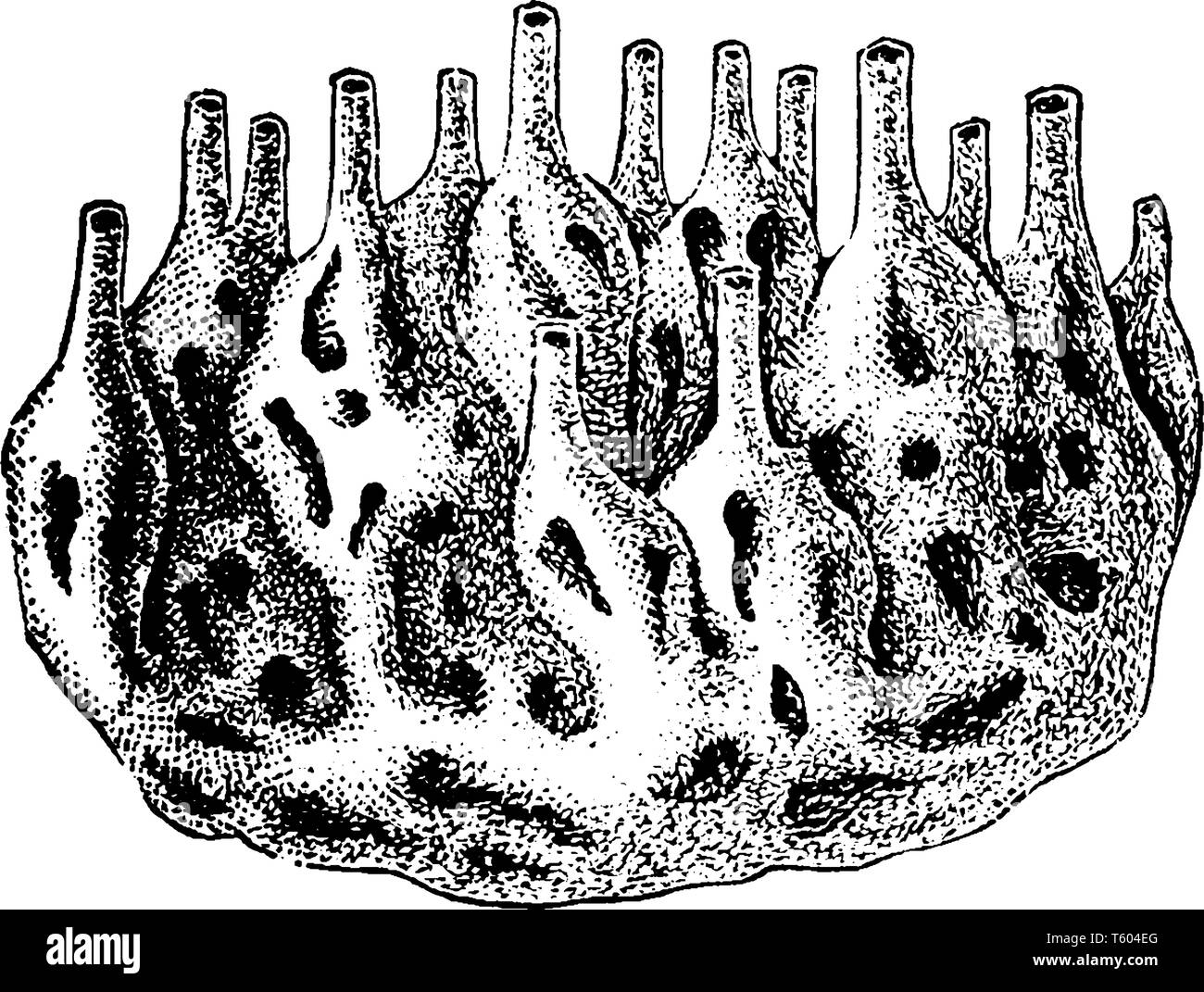 Sponge Colony is the members of the phylum Porifera are the sister of the ParaHoxozoa, vintage line drawing or engraving illustration. - Stock Vector