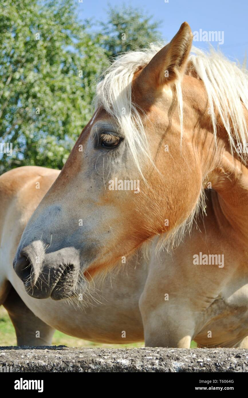 Contour portrait of a brown  bay horse standing at a rocky grey wall in a garden under the bright sunshine and blue sky. - Stock Image