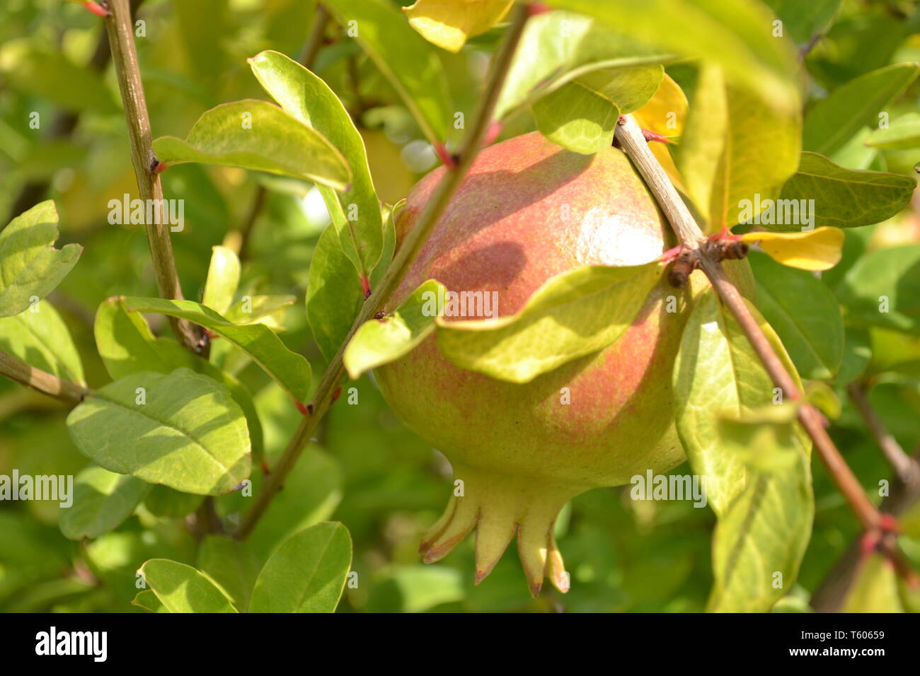Close-up view to one green red pomegranate fruit brightly illuminated by the sunshine in the middle of leaves and branches. Stock Photo