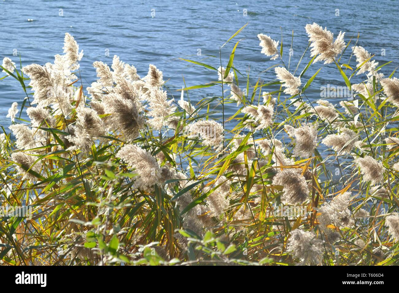 Close-up view to beautiful common reed plants bush at lakefront  brightly illuminated with sunlight in backlit and on blue rippled water background. - Stock Image