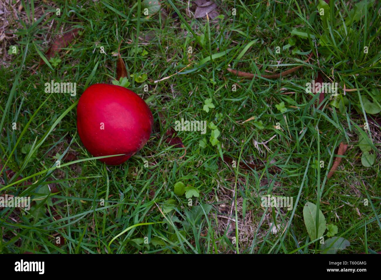 Single Red Apple Lying On Rough Grass In Autumn - Image Stock Photo