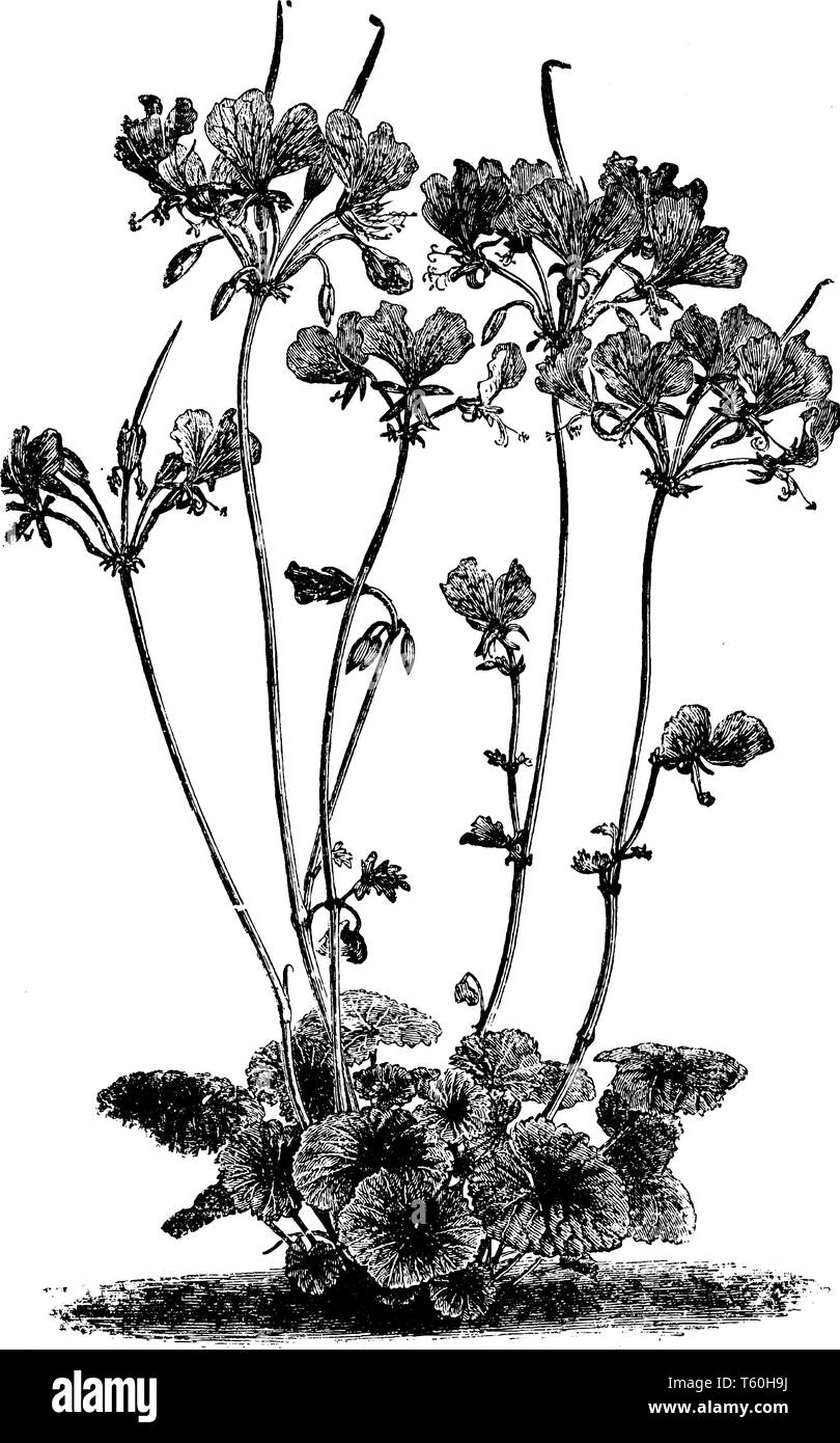 Pelargonium Endlicherianum is a clump-forming perennial. The flowers are relatively large and comprise two large, upper, carmine-magenta petals and th - Stock Image