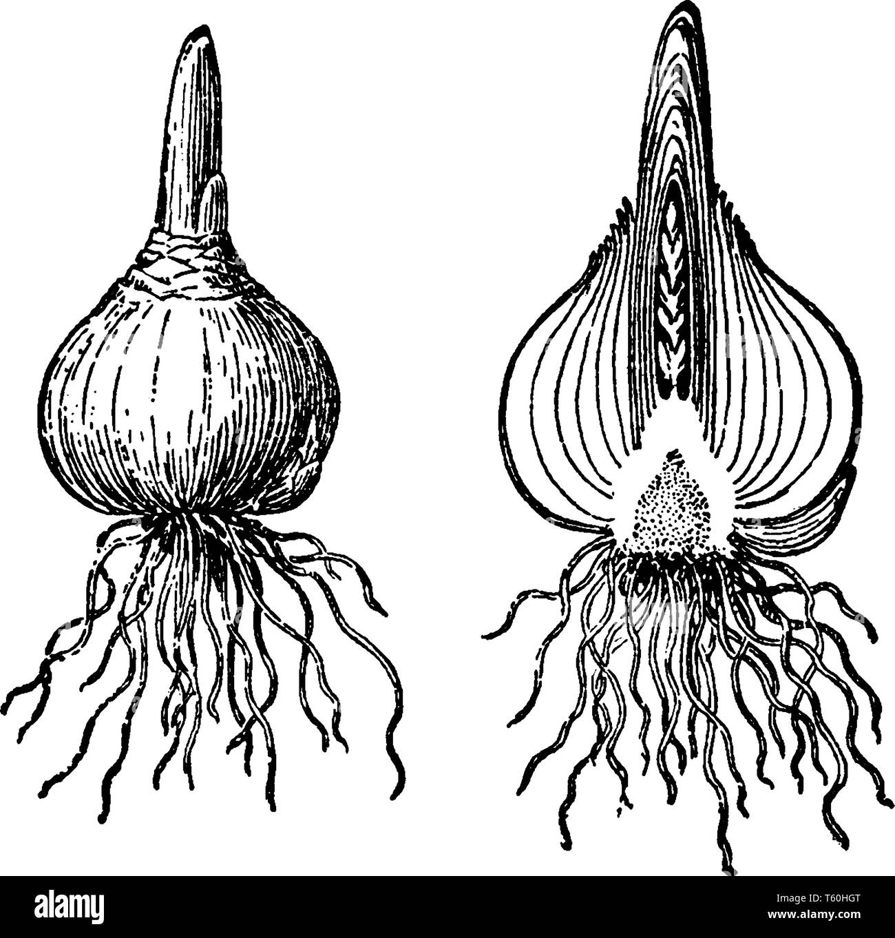 The image shows a Bulb of hyacinth. Hyacinth bulbs are poisonous; they contain oxalic acid. Handling hyacinth bulbs can cause mild skin irritation, vi Stock Vector