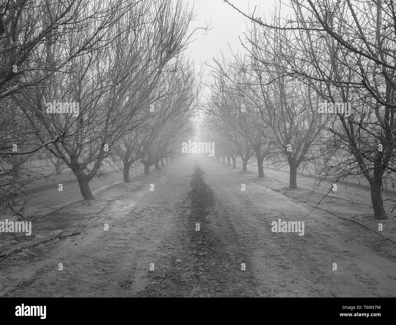 Rows of nut trees, San Joaquin Valley. - Stock Image