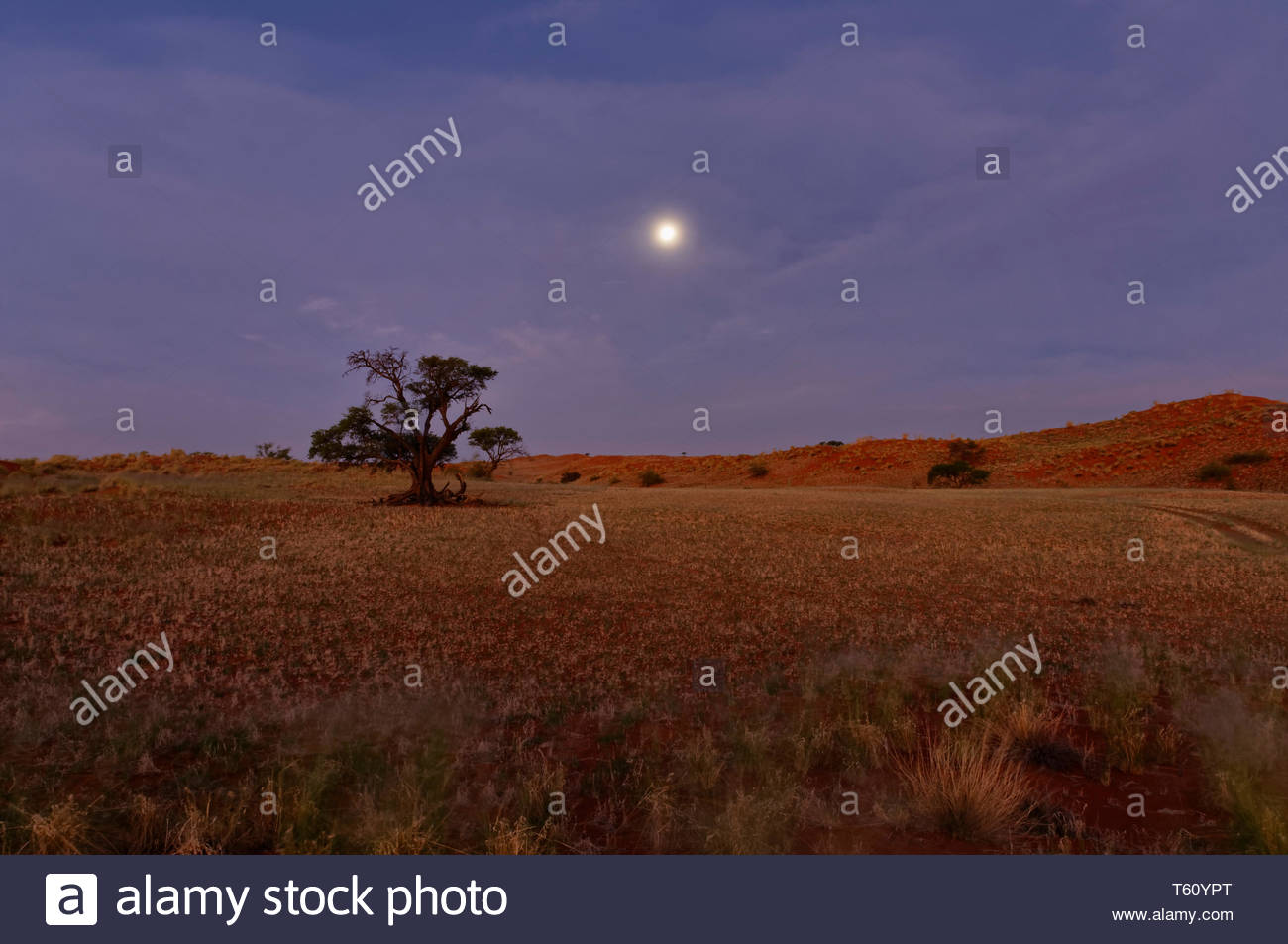 Moon over Namib Desert in Tsondab Valley Scenic Reserve, camel thorn tree (Acacia erioloba) District Windhoek Namibia - Stock Image