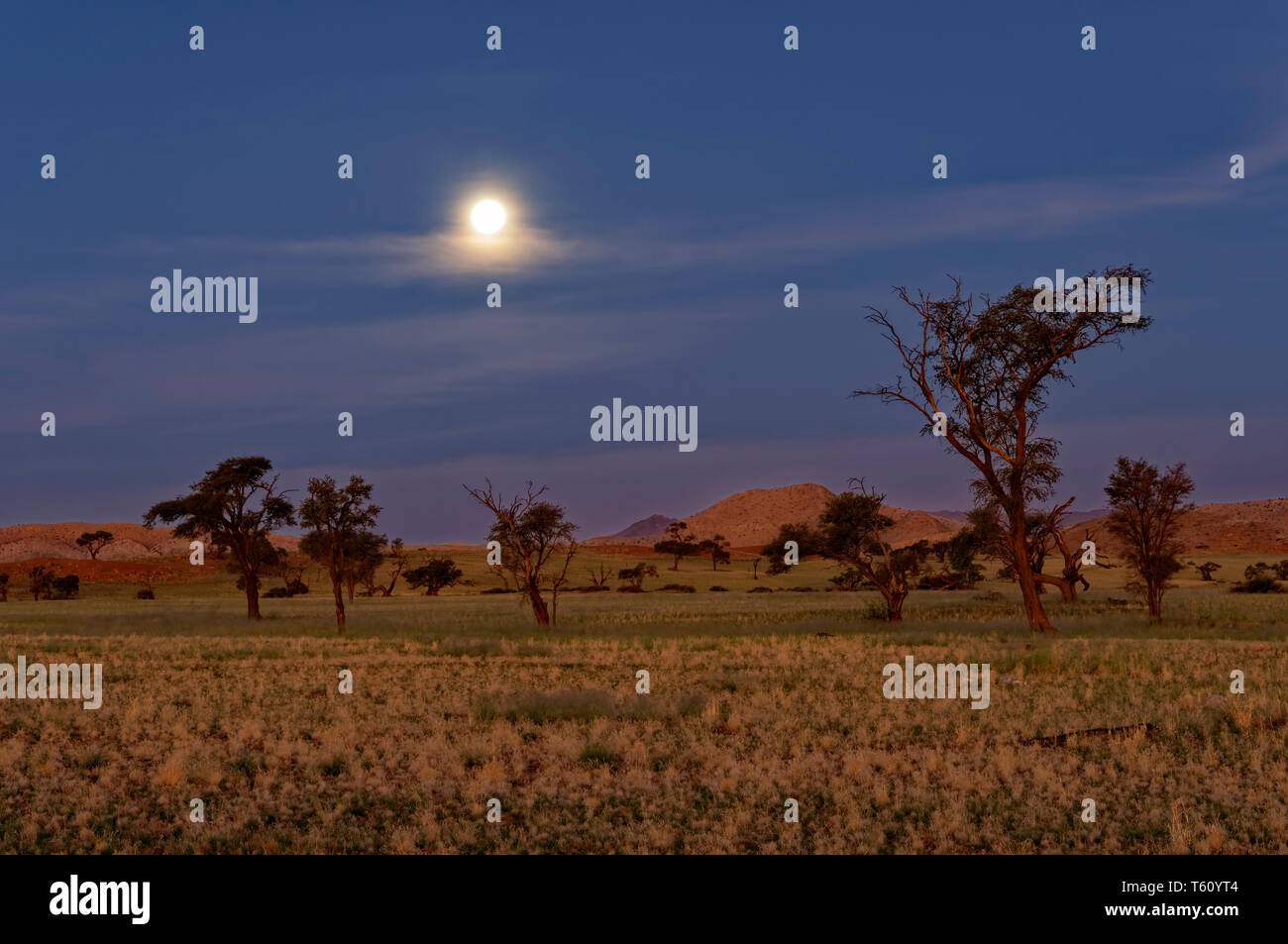 Moon over Namib Desert in Tsondab Valley Scenic Reserve, camel thorn trees (Acacia erioloba) in the foreground District Windhoek Namibia - Stock Image