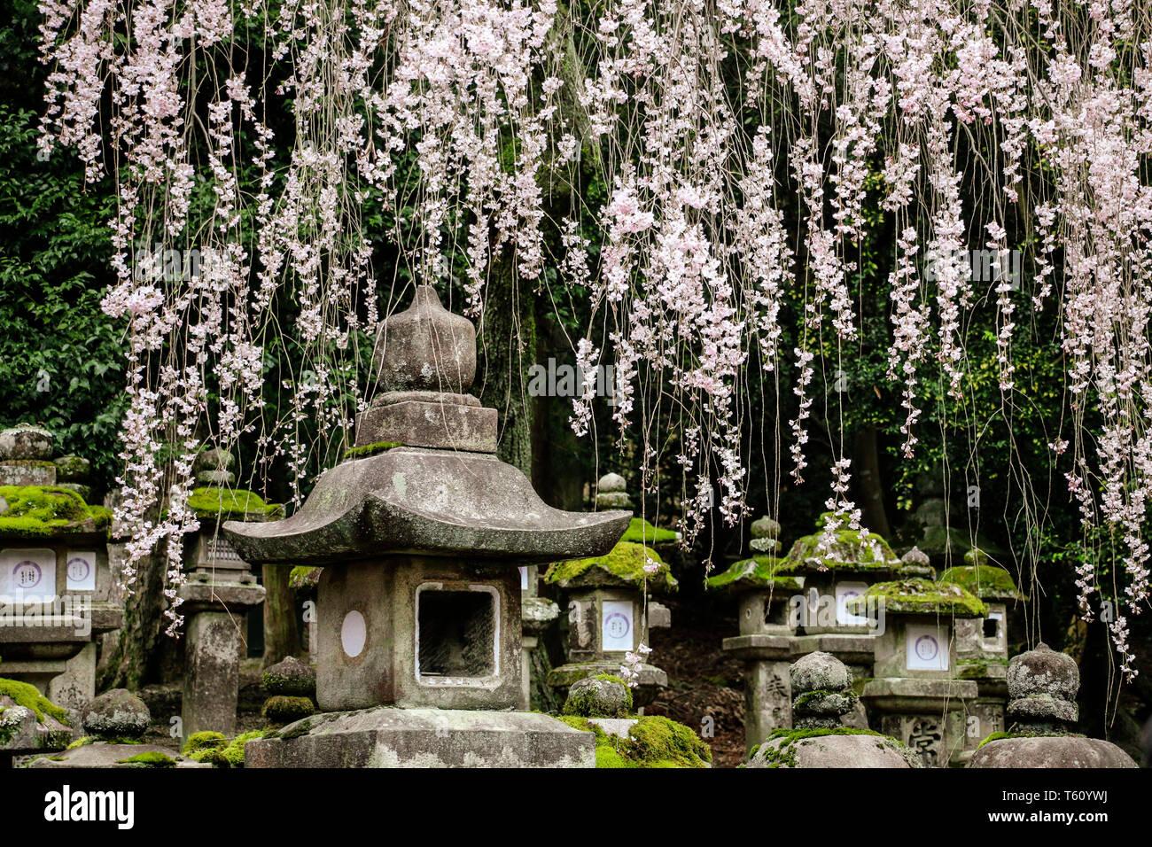 Old stone japanese lanterns and flowering branches sakura in Kasuga Grand Shrine, Nara, Japan - Stock Image
