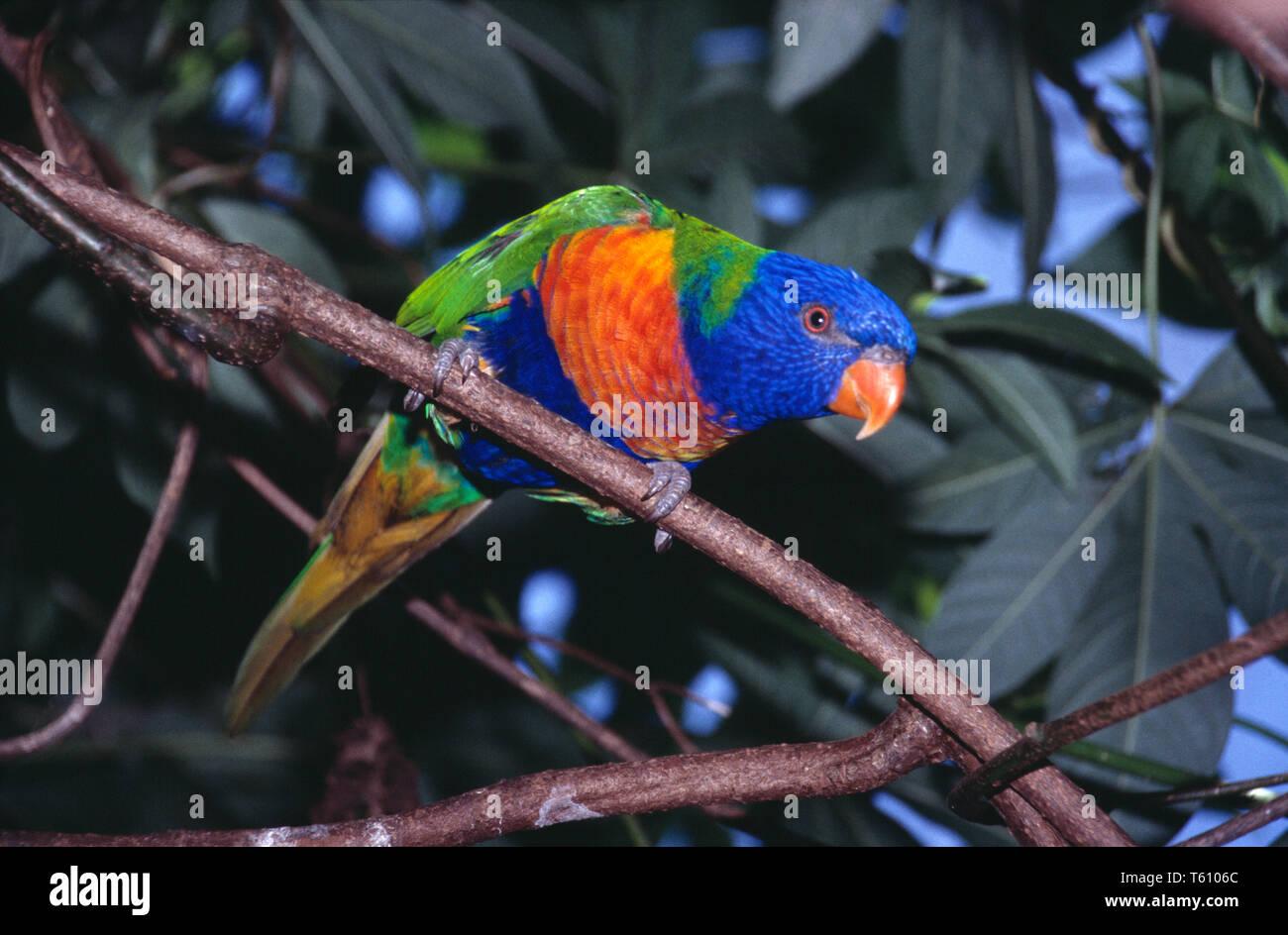 Australia. Queensland. Wildlife. Bird. Rainbow Lorikeet. Trichoglossus moluccanus. - Stock Image