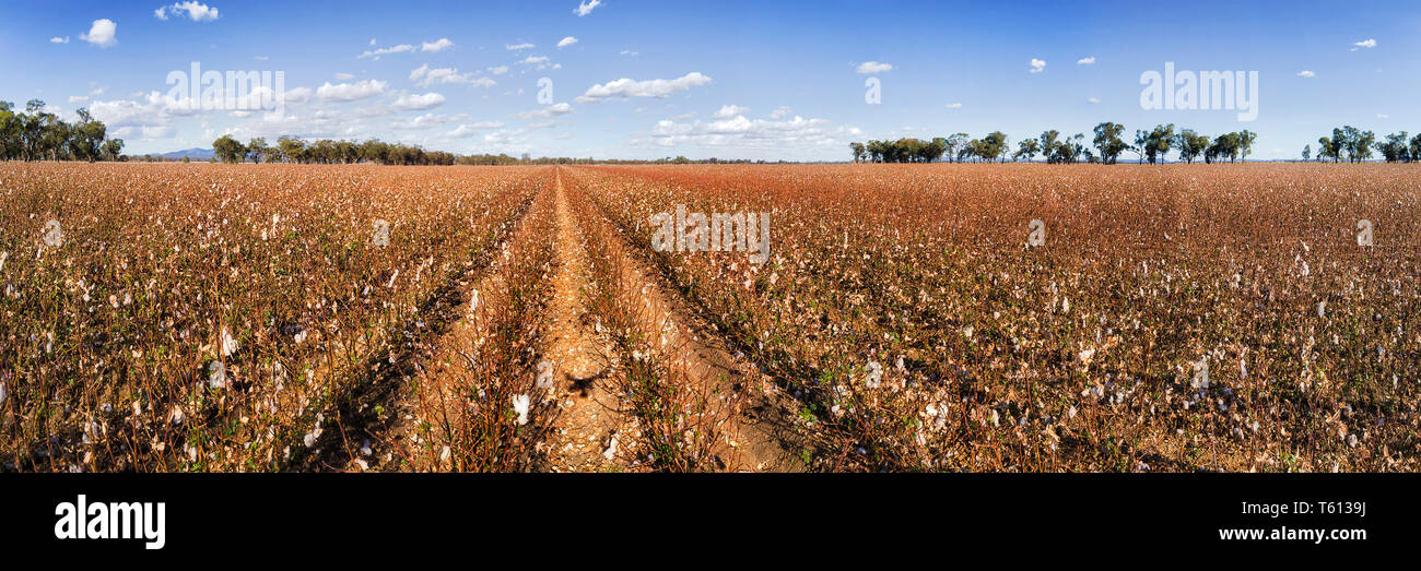 Cotton field in full blossom with white cotton boxes ready to harvest on red soil of australian outback under blue sky - wide agricultural panorama of - Stock Image