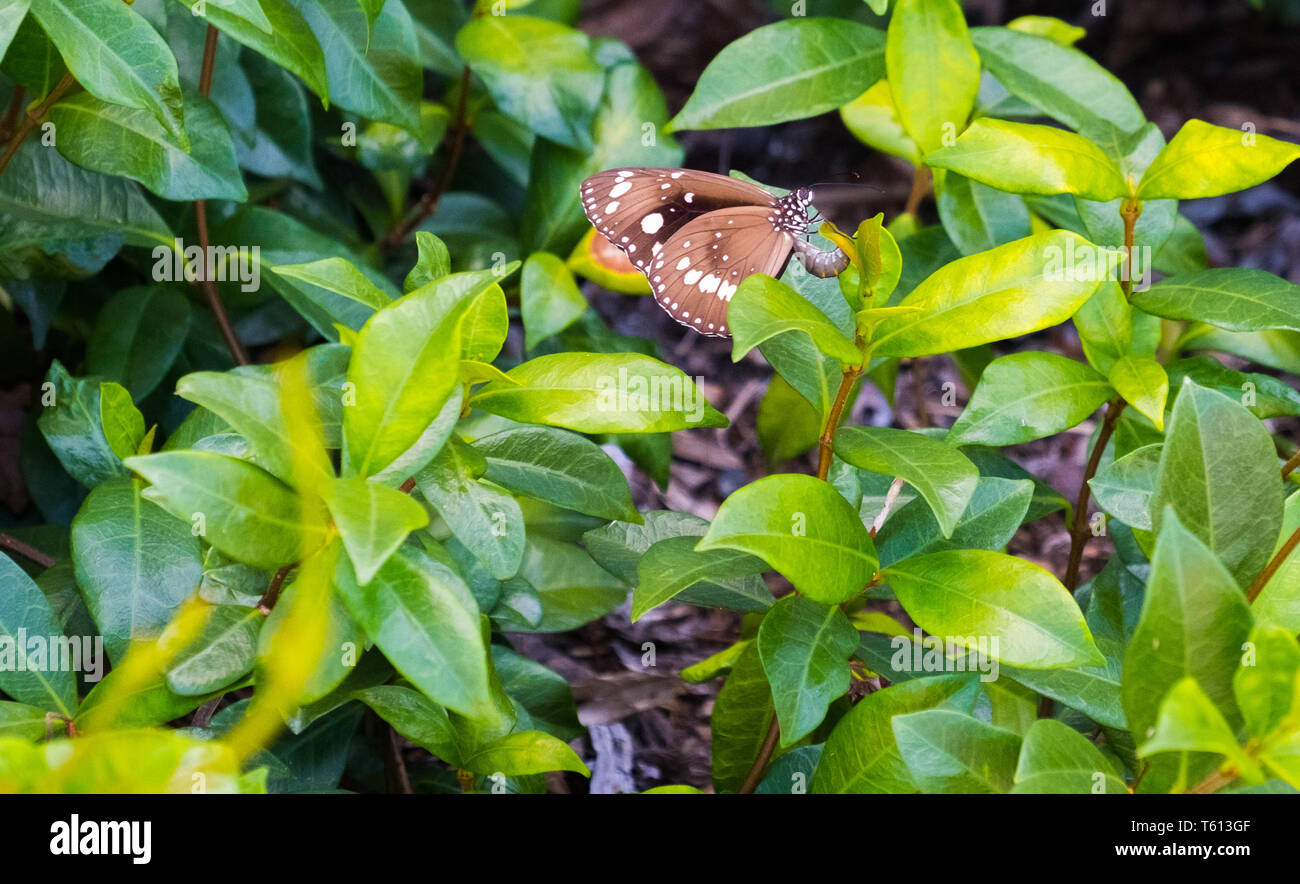 Spotted Black Crow Butterfly laying eggs on a leaf - Stock Image