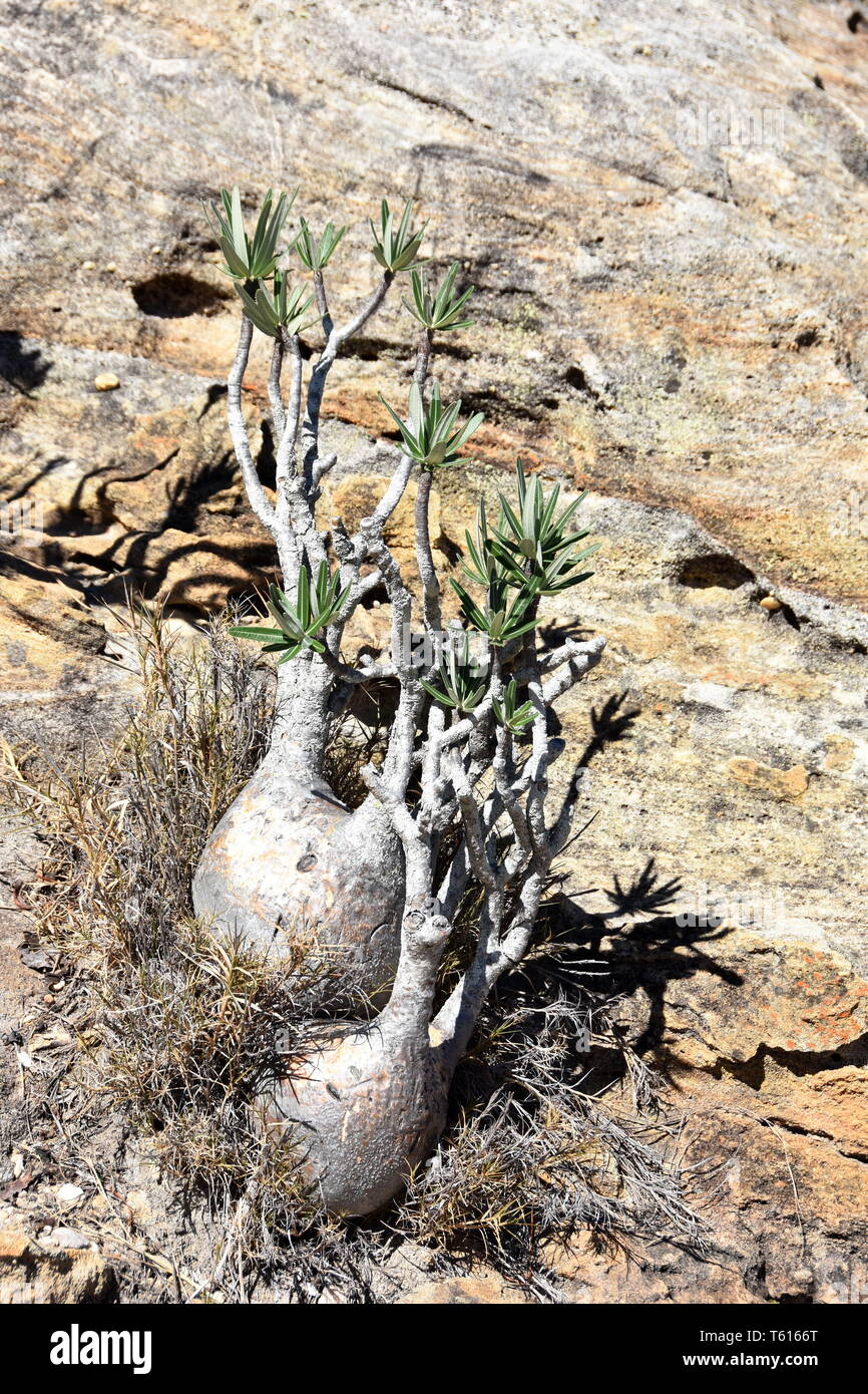 Elephant's Foot Plant Pachypodium rosulatum in its natural environment - Stock Image