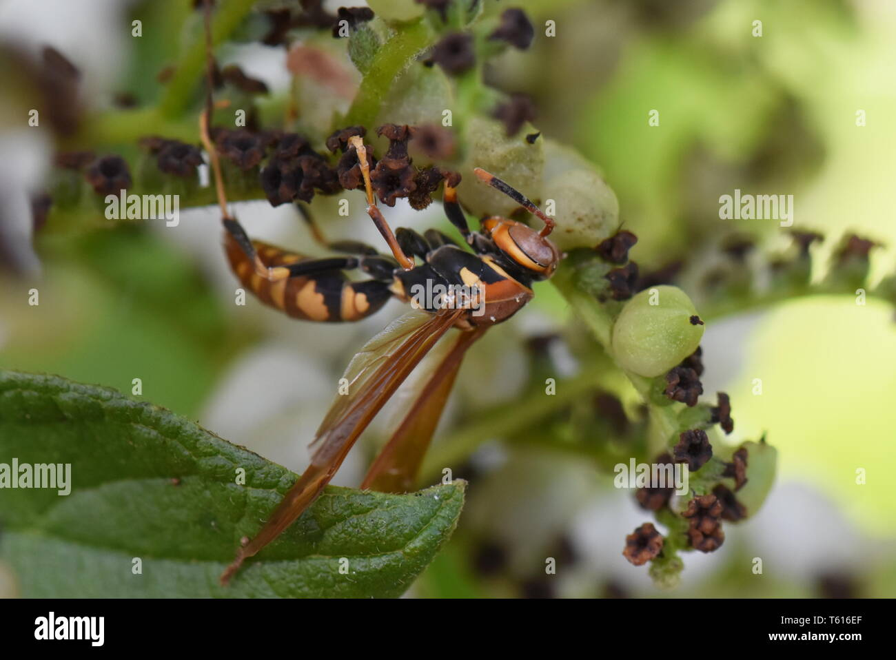 Yellow paper wasp Polistes versicolor invasive species in vegetation - Stock Image