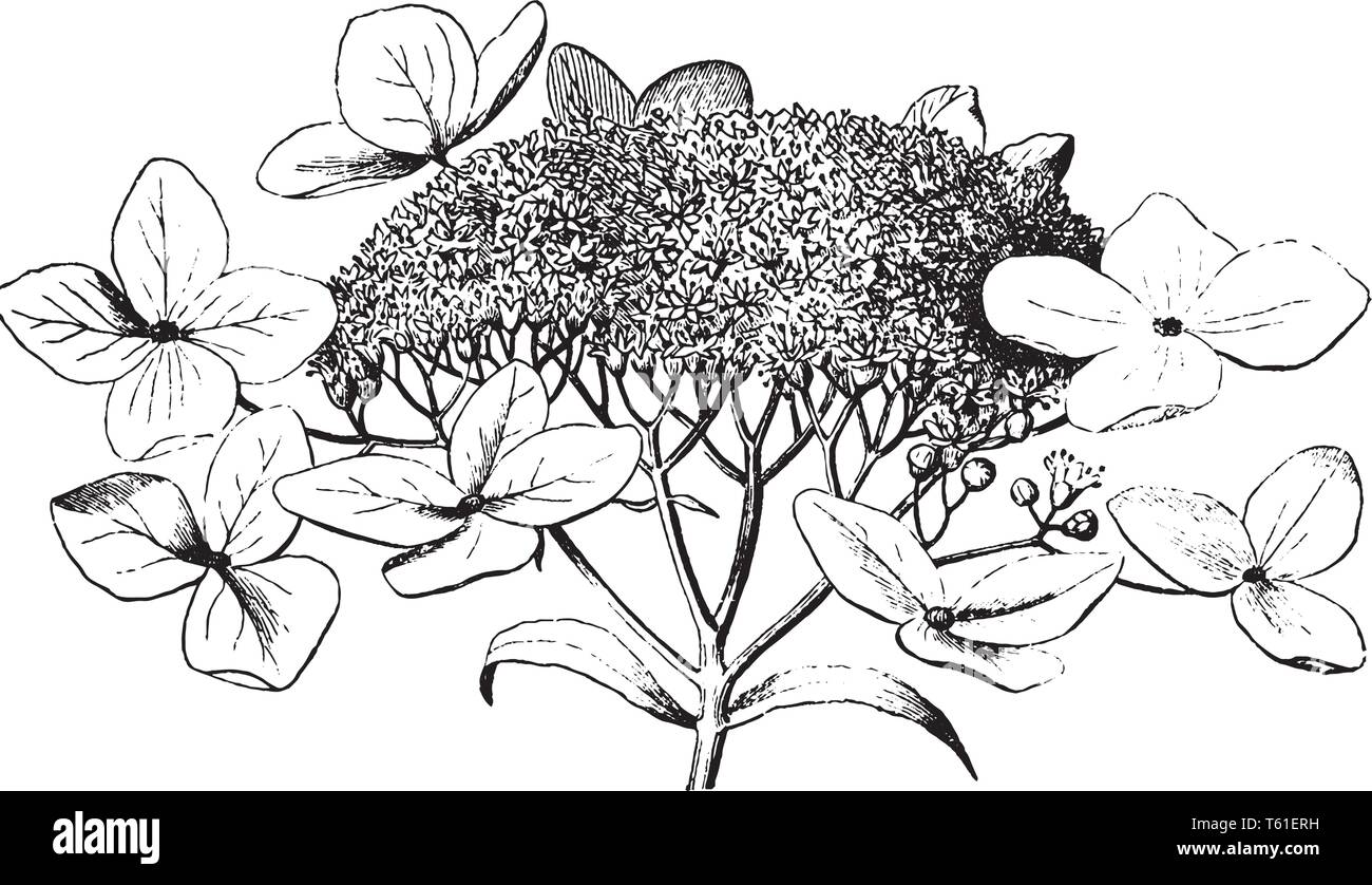 The image shows a Hydrangea with full grown flowers. It is a genus of 70-75 species of flowering plants native to southern and eastern Asia and the Am - Stock Vector