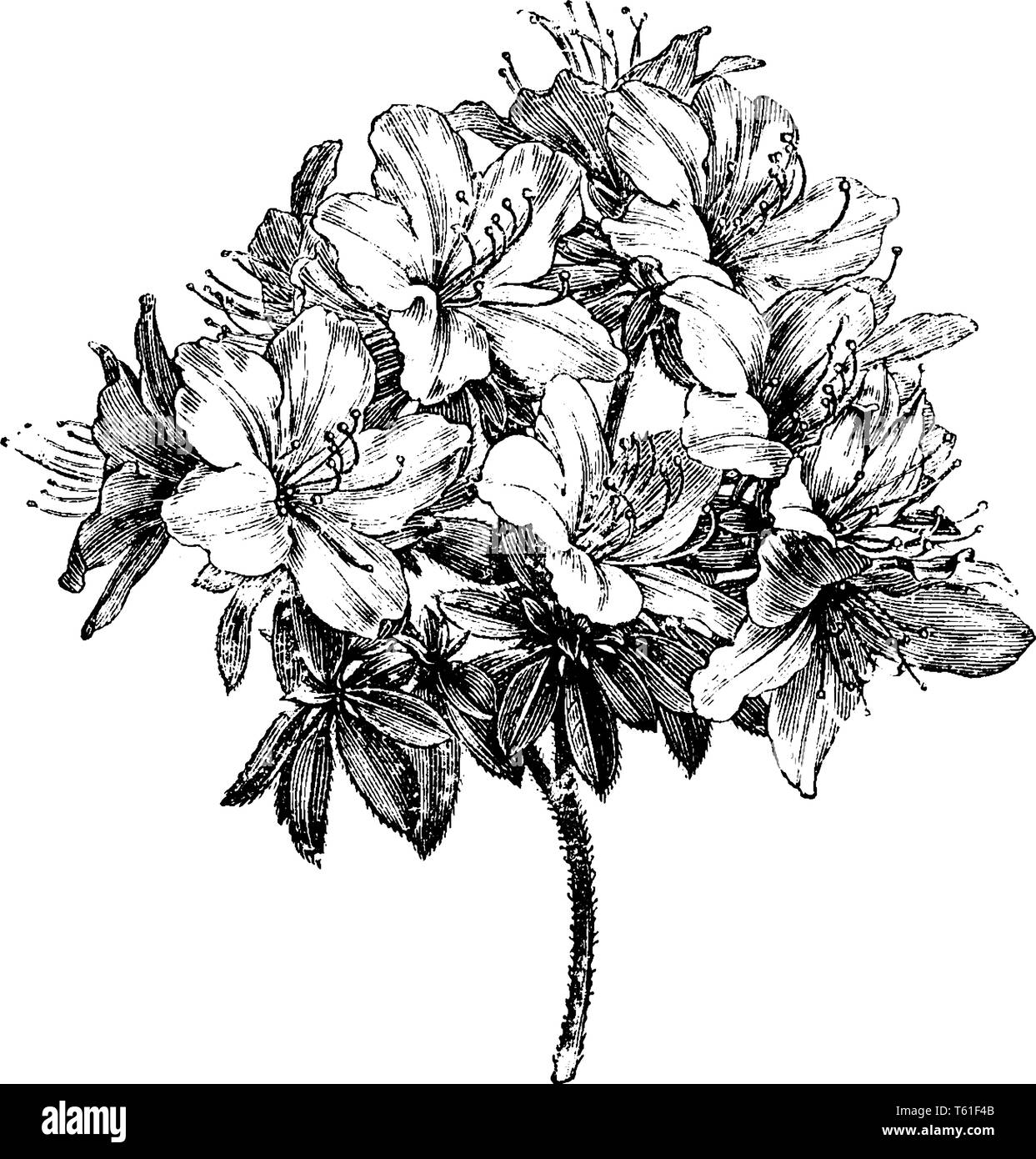 Azalea Ledifolia is a genus of Rhododendron. It is evergreen shrub, with thick, dark-green leaves and clusters of white flowers in summer, vintage lin - Stock Vector